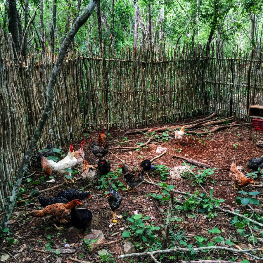 Our neighbor Oasis Eco Village‬ run by our friend Shane shut down. The eco village donated all of their animals to our project, including 14 laying chickens, 2 ducks, 2 dogs 1 cat!