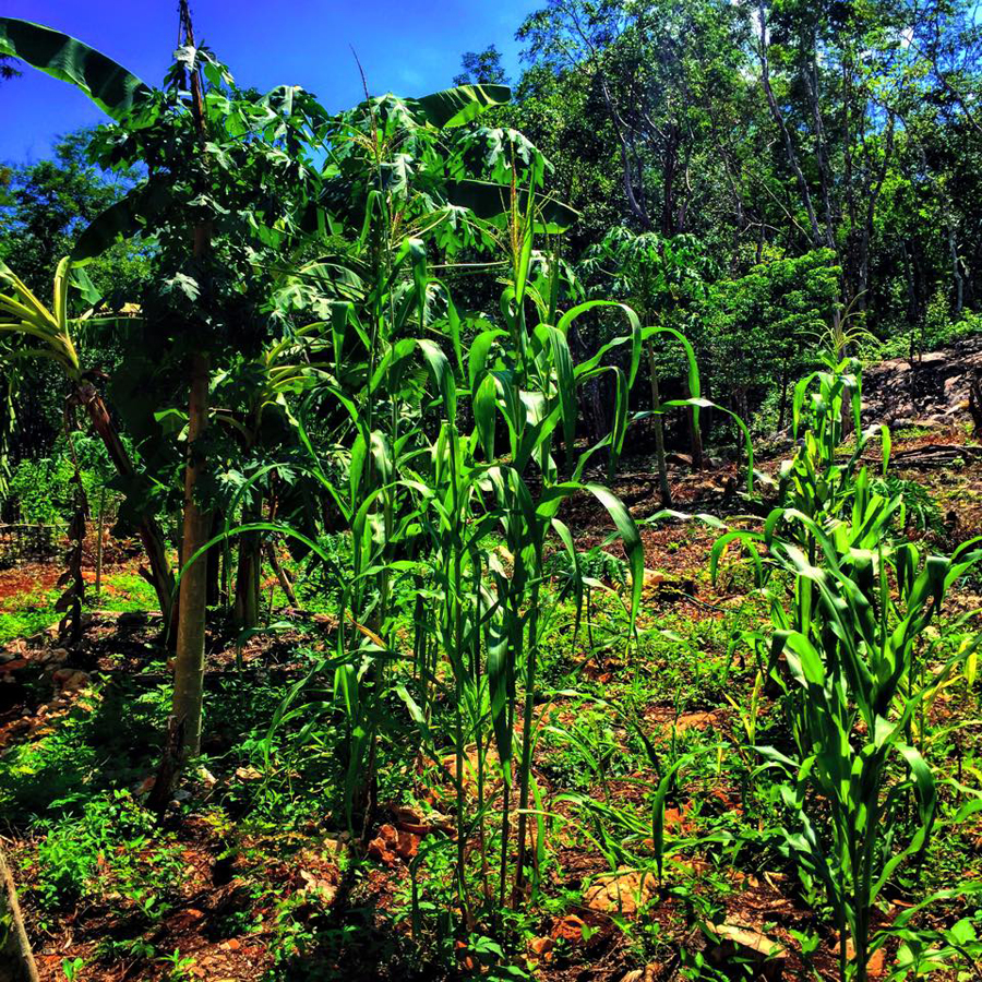 With all the rainy season, the milpa corn is growing beautifully!
